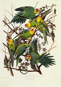 John Audobon's 'Birds of America', parrots.jpg