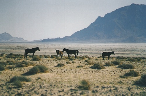 Namib wild horses.jpg