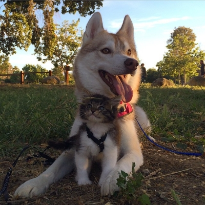 Lilo the husky and kitten Rosie