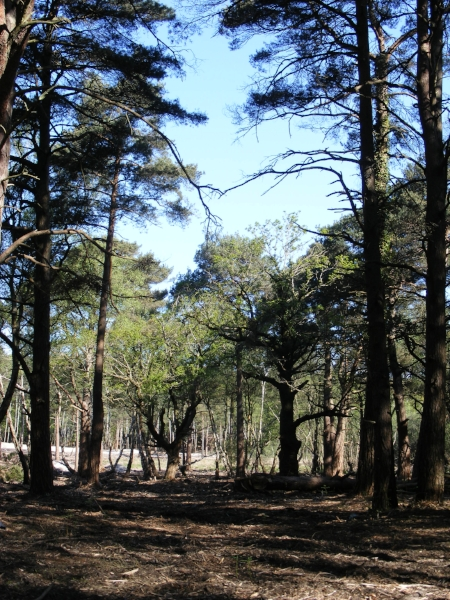 Trees in heathland