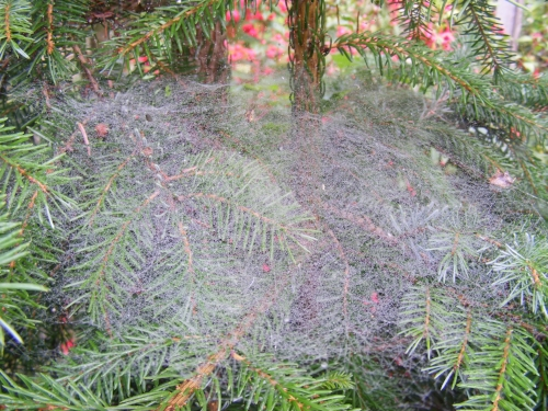 Dew-covered spider web on plants