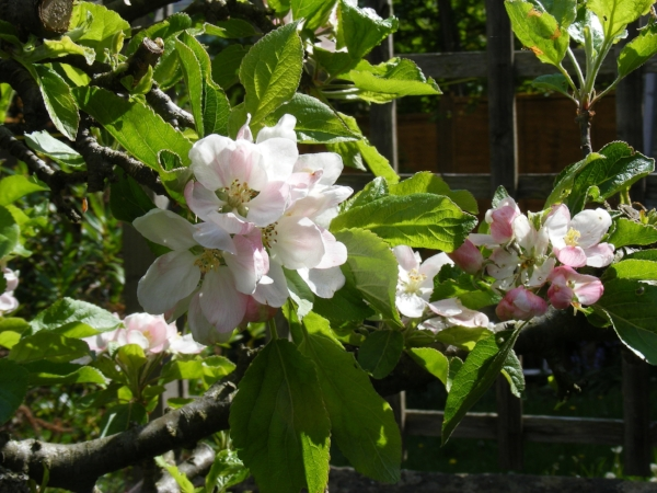 Apple blossom, back garden