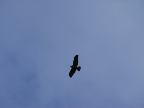 Bird of prey against blue sky