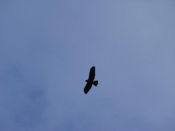 Bird of prey against blue sky