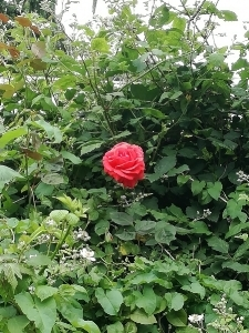 Solitary rose surrounded by greenery