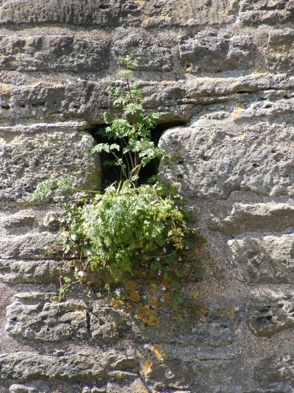 Plant growing in castle wall