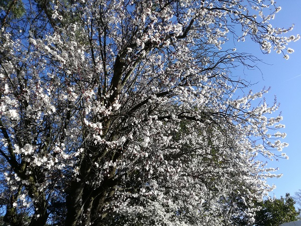 Blossoms on trees