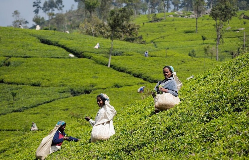A TEA PLANTATION IN SRI LANKA'S HIGHLAND.jpg