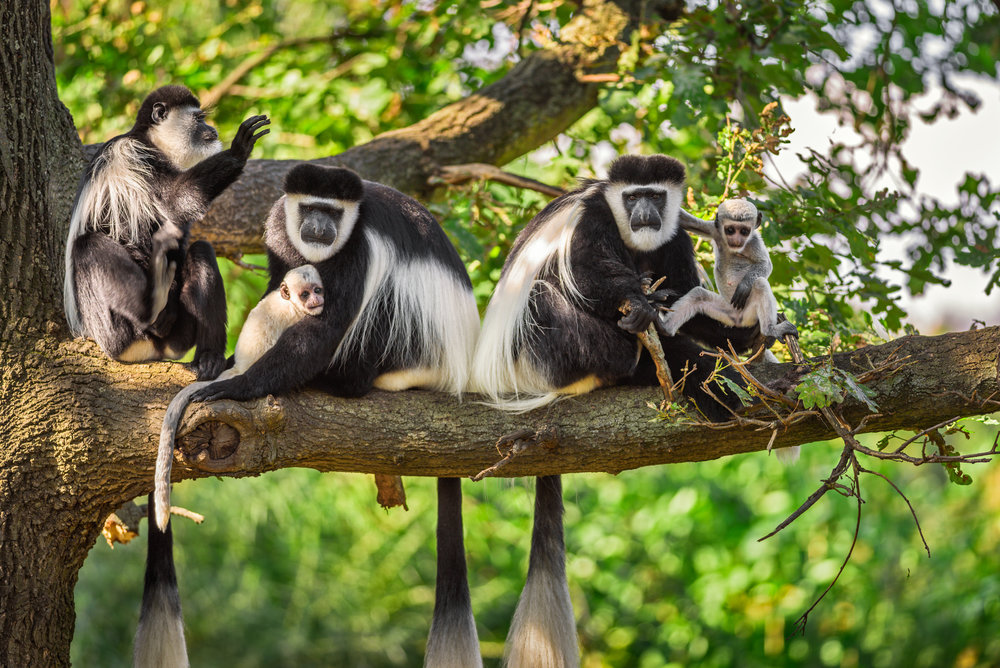 Uganda landscape (Matoke Tours) Black and White colobus monkeys 01.jpg