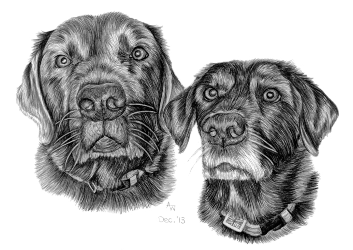 Boomer and Molly - Labrador Retrievers - A4 - Pencil sketch