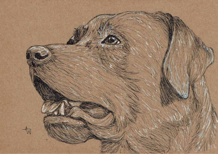 "Labrador Card  - 5  "" x 7  "" - Pen   sketch - Special order birthday card"