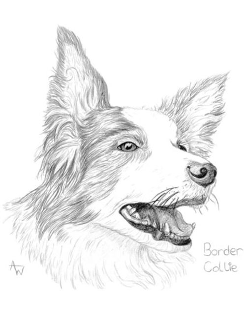 Border Collie - Graphite pencils
