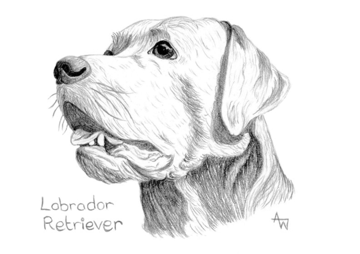 Labrador  - Graphite pencils