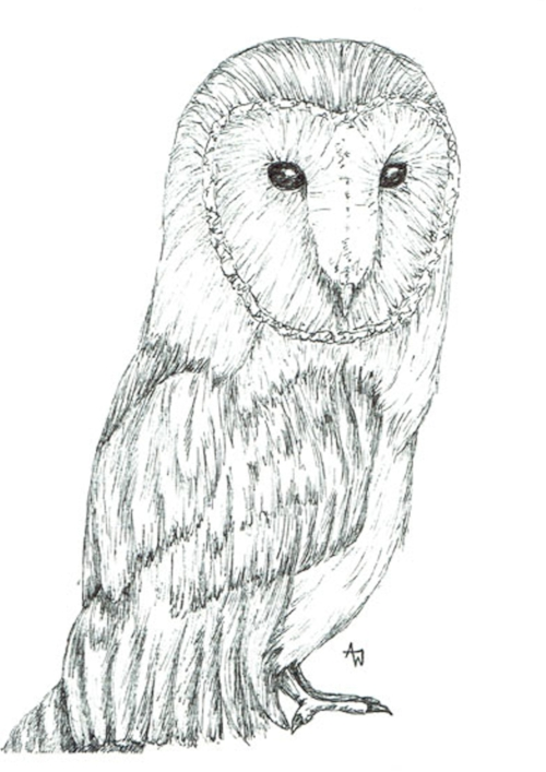Barn Owl - Pen sketch