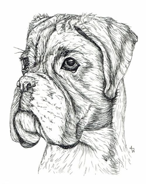 """Boxer - 10"""" x 10"""" - Pen sketch"""