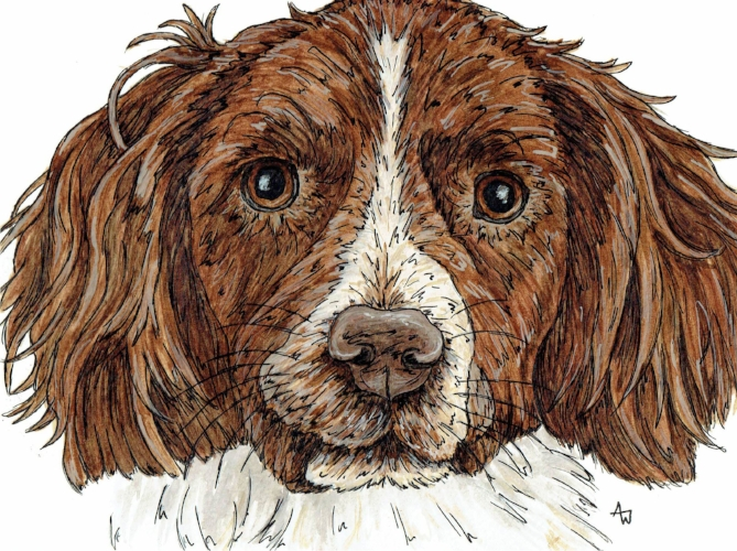 "Jack - Springer Spaniel - 10"" x 8"" - Pen and Watercolour"