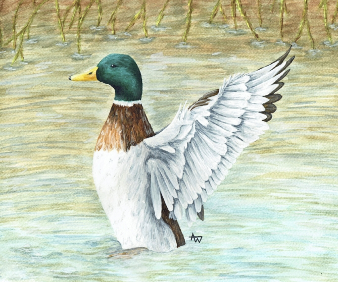 "Mallard - 10"" x 8"" - Watercolour painting"