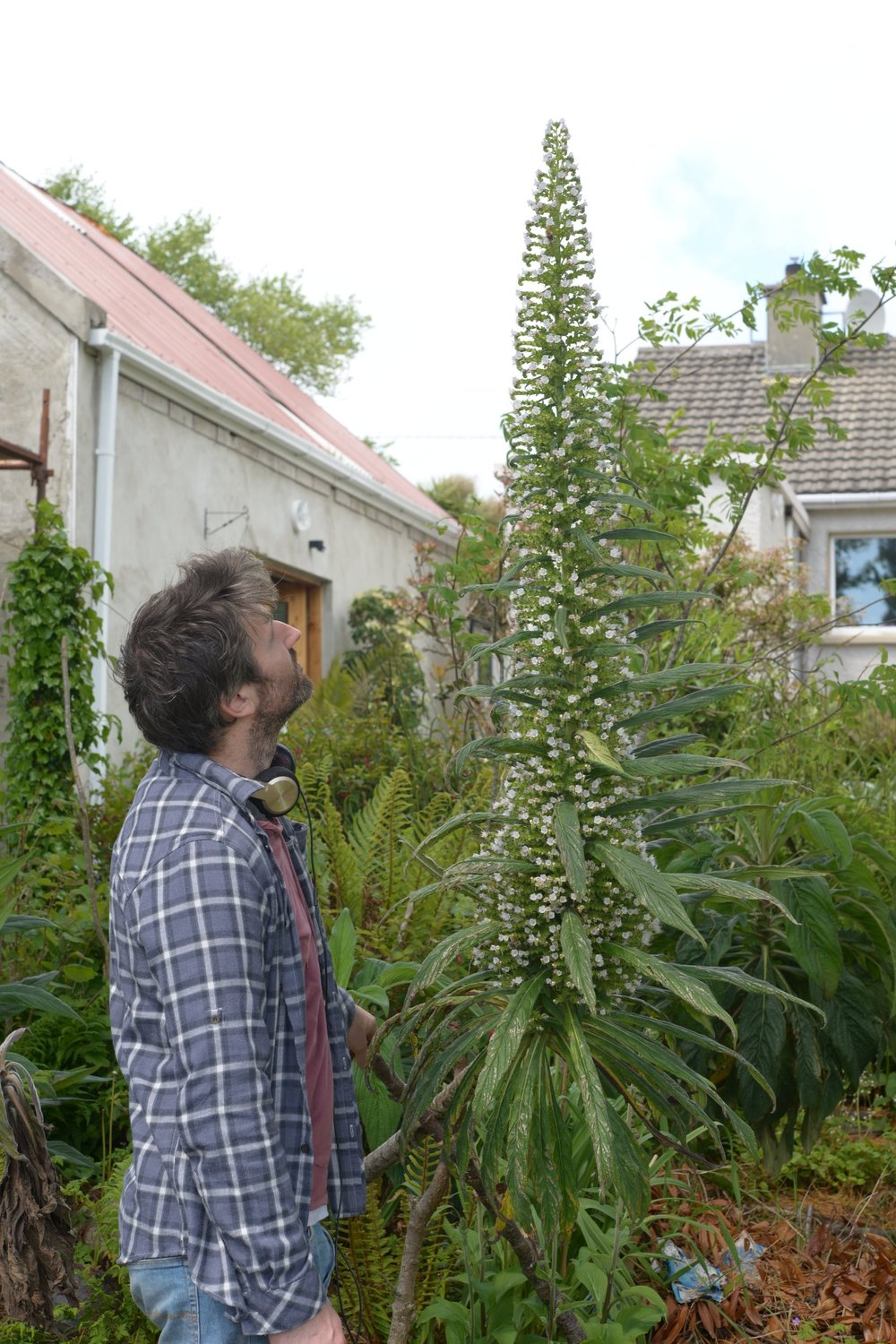 Echium pininana in its second year.