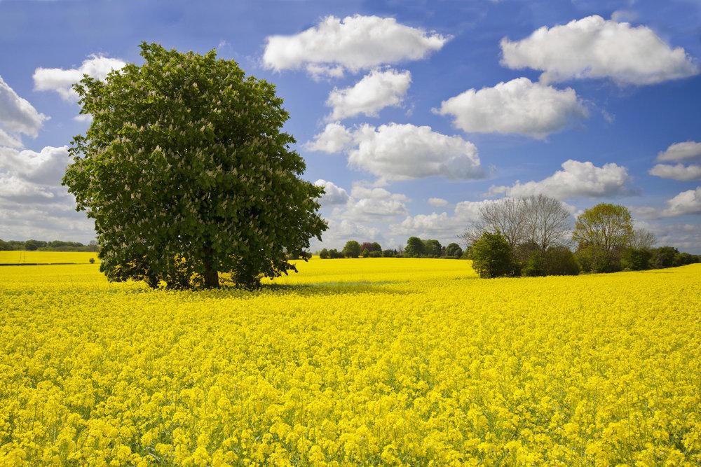 Oilseed.jpg