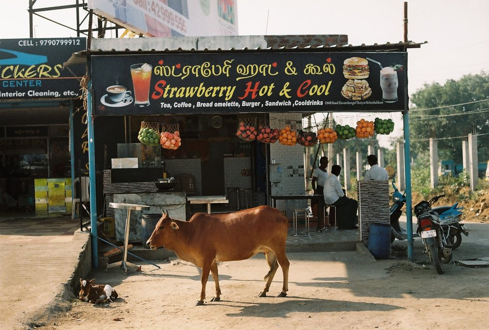 Typical Indian  restaurant - cow may or may not be included