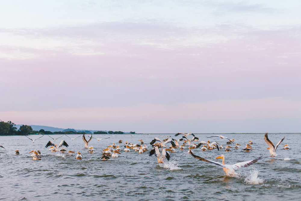 Lake Tana and pelicans