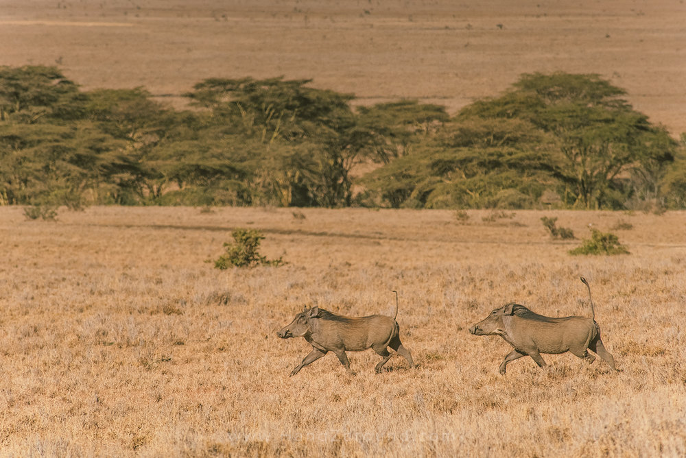 014_HANDZAROUND_NGARE_NDARE_FOREST_animals_lewa_borana_conservnacy_NRT_THE_BIG_NORTH_LAIKIPIA_KENYA_AFRICA.jpg