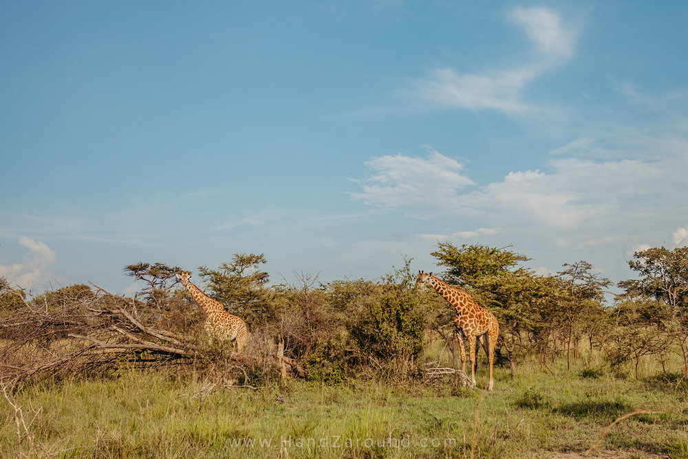 Some people may not know that you can have the most incredible safaris in the East of Rwanda, in Akagera Park. If you're lucky, you may even spot the whole 'Big 5'!
