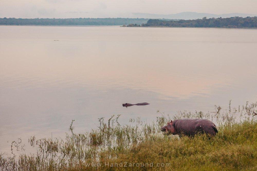 Hippos on the shore of Lake Ihema