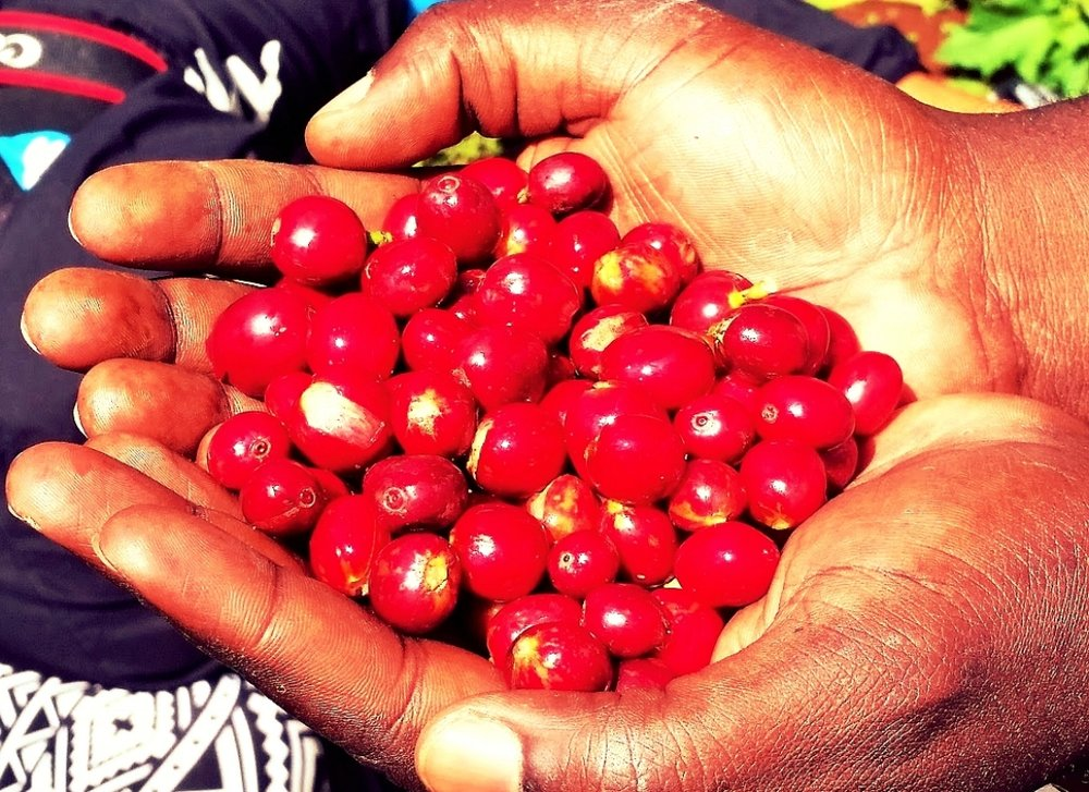 Harvesting - When harvesting coffee, the farmer is looking for a ripe cherry, which is typically a bright deep red cherry bean. We have multiple harvest seasons in Uganda and the first big one is called the main harvest followed by smaller ones we call the fly crop. The harvest seasons depend on the region and the type of coffee being harvested, as we have Robusta and Arabica flowering at different times, making Uganda a country that can harvest coffee year round.Handpicked: Only the ripe cherries are harvested and handpicked. These coffee pickers work long hours around the clock, moving from one tree to the next over a two week period to find the most ripened cherries.
