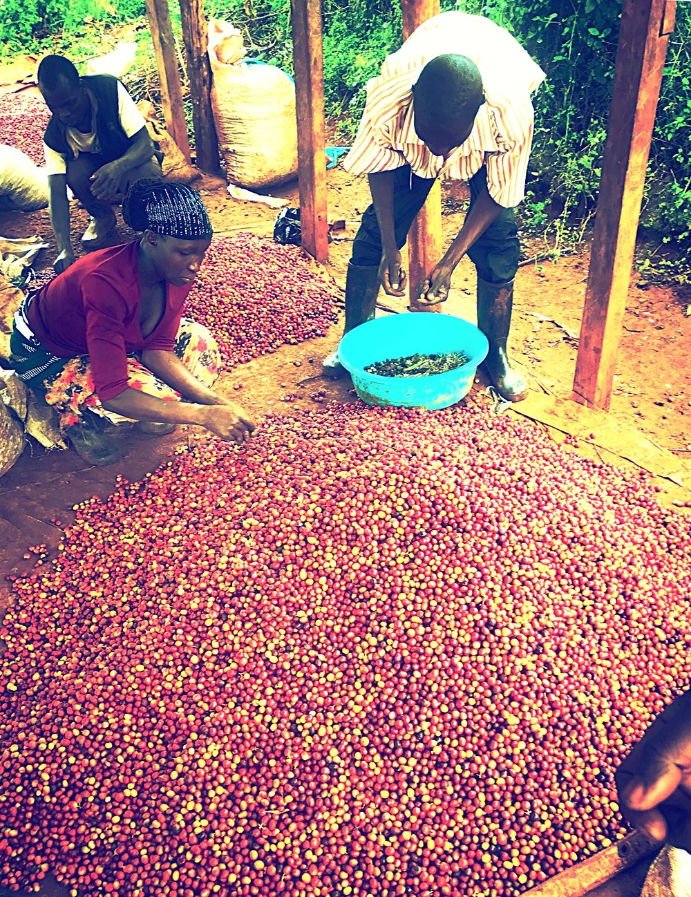 Processing  - We process our coffee using two methods namely; the wet method and dry method. During the Dry Method, the fresh cherries are spread out on a large tarp and dried in the sun. Farmers rake the cherries on a frequent basis to ensure that the coffee can dries evenly. With the Wet Method, coffee has this coat called the pulp which is removed and into parchment. Next, the coffee beans are placed in water whereas, the lighter beans float while the heavier beans sink to the bottom. Then these beans are taken to be fermented for a period of 48 hours where the parchment is dissolved naturally. The coffee is washed once again and dried to reach the desired moisture content.