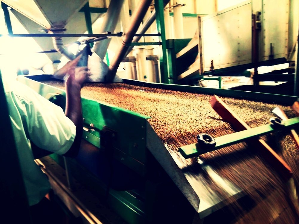 Milling  - We Hull the beans to remove the coffee husks. The beans are then graded and color sorted. This process is done by size and weight on a gravity table where the heavier beans go on one side and lighter beans go on another. We value consistency in color so we use a color sorter which places same colored beans in the batch.