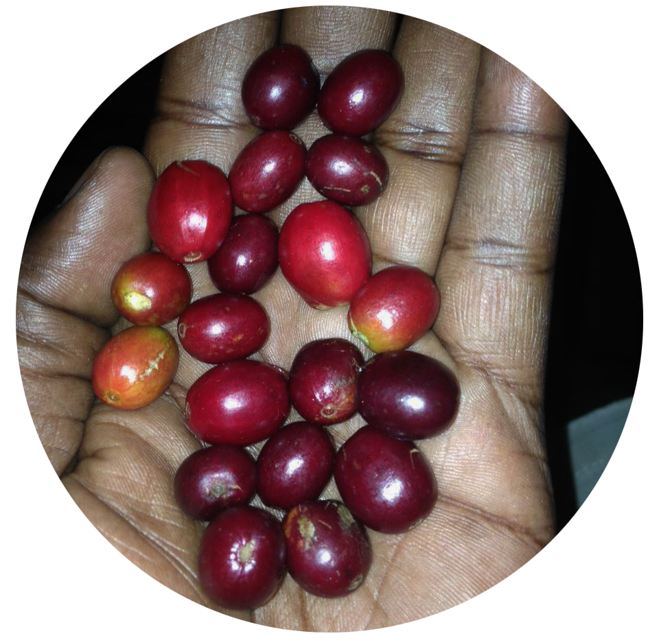 Mt elgon Peaberry -