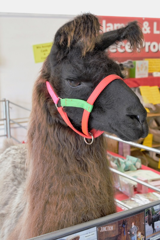 Did you know there were registered therapy llamas?!?!?