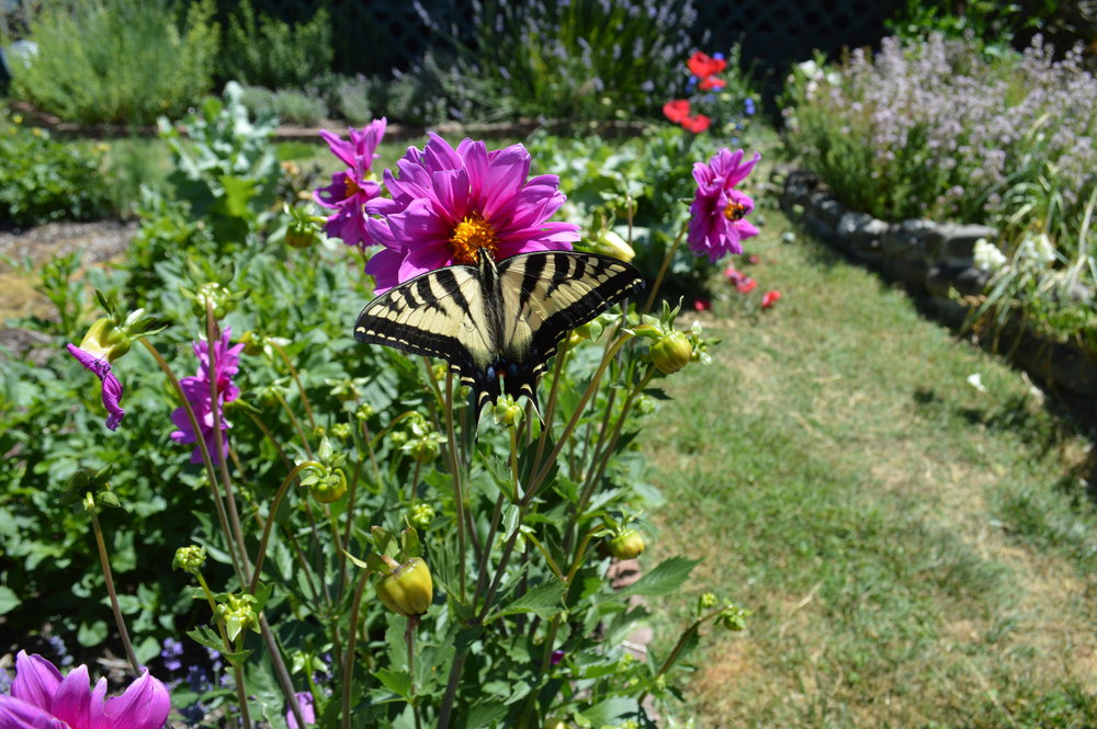 butterflies and Flowers with vegetables and good medicine are all part of this happy humboldt garden at the sunboldt grown co-op.