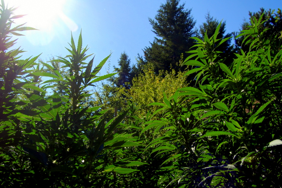 Cannabis, growing in the sun in humboldt county, california. photo: sharon letts