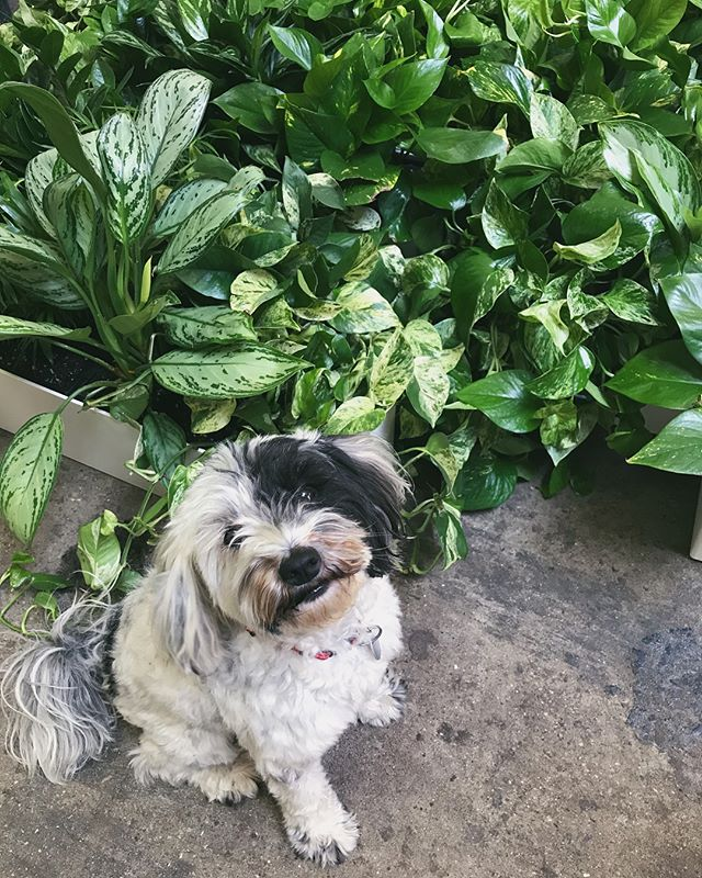 this saturday: @greenerynyc 's SUMMER PLANT SALE! pepper & i will be there with your future houseplant(s). get em while they're hot! 🌿🔥🐶 — - Saturday, July 7th from 10am - 2pm - 195 Dupont Street in Greenpoint, Brooklyn