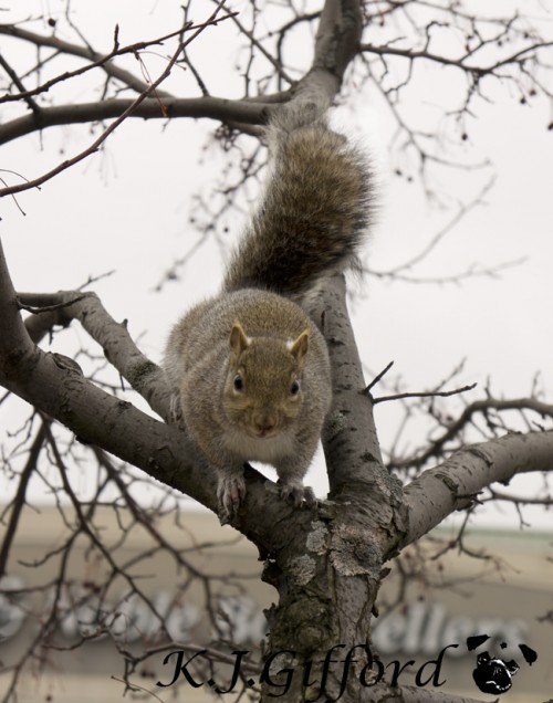 Fat Squirrel in Tree