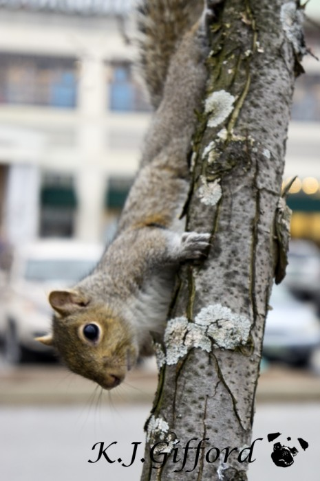 Squirrel Climbing Down Tree