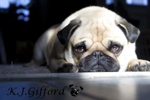 Fawn Pug on Floor