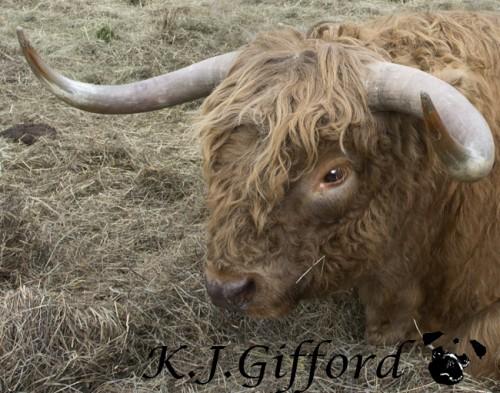 Scottish Highland Cattle Big