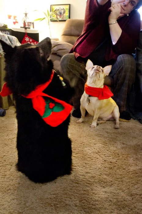 Schipperkke and Chihuahua
