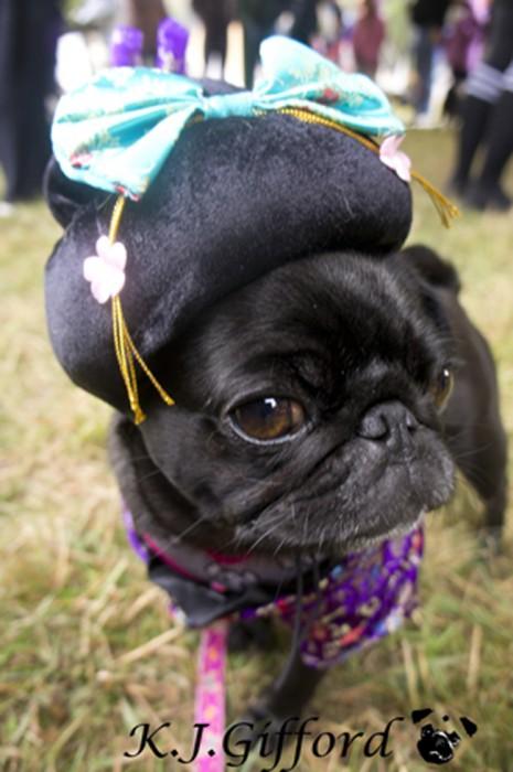 Black Pug in Kimono Costume