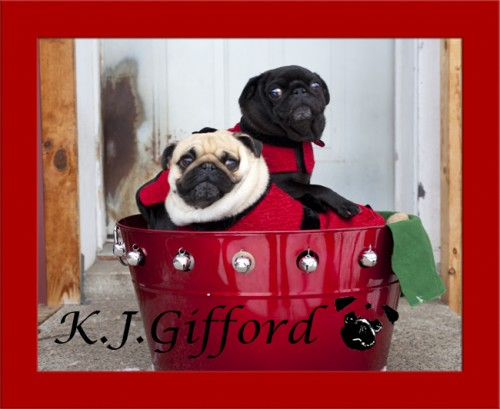 Fawn and Black Pugs in Red Bucket Outside
