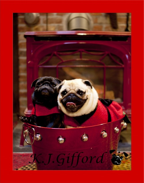Black and Fawn Pugs in Bucket in front of Stove