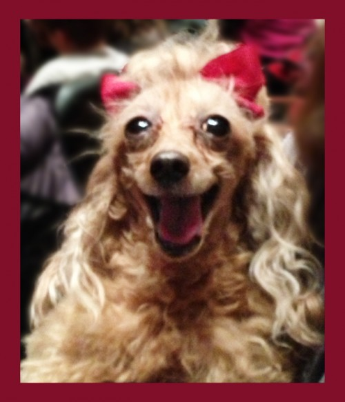 Smiling Poodle with red ribbons