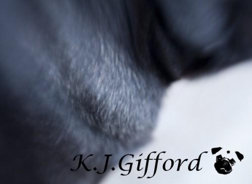 black pug fawn fur