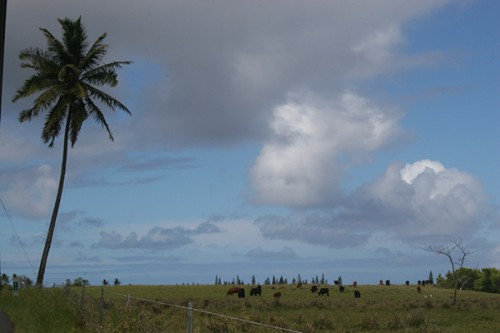 Grazing Cattle Maui