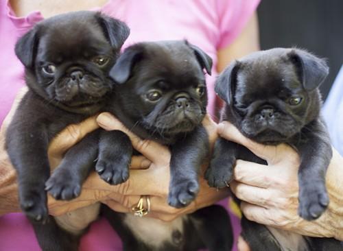 Blog Colored Damitz pups
