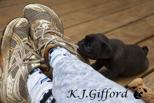 Blog pug puppy
