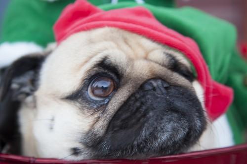 Alfie pug